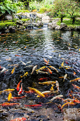 Kauai Koi Pond Art Print by Darcy Michaelchuk