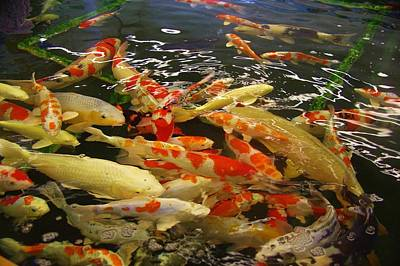 Photograph - Kcsd Koi Buying Trip 16 by Phyllis Spoor