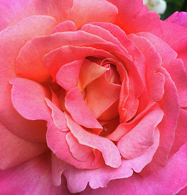 Photograph - Ke Rose Macro by Robert Meyers-Lussier