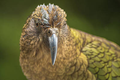 Photograph - Kea Bird by Racheal Christian