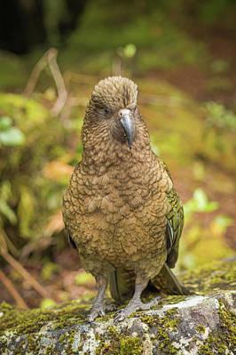 Photograph - Kea Parrot by Racheal Christian