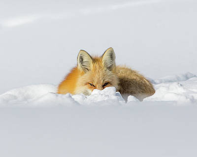 Photograph - Snow Hide by Kevin Dietrich