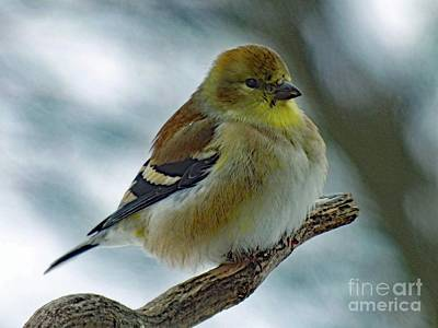Beaches And Waves Rights Managed Images - Keeping Warm - American Goldfinch Royalty-Free Image by Cindy Treger