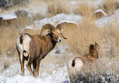 Bighorn Sheep Photograph - Keeping Watch by Mike Dawson
