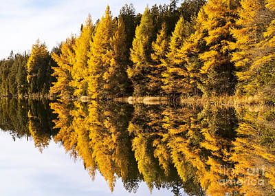 Photograph - Keiser Pond Tamaracks by Alan L Graham