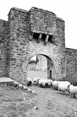 Photograph - Kells Priory Ireland Sheep Using The Medieval Arched Gatehouse Entry County Kilkenny Black And White by Shawn O'Brien