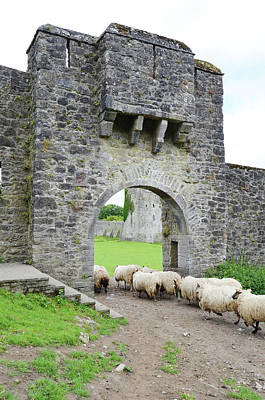 Photograph - Kells Priory Ireland Sheep Using The Medieval Arched Gatehouse Entry County Kilkenny by Shawn O'Brien