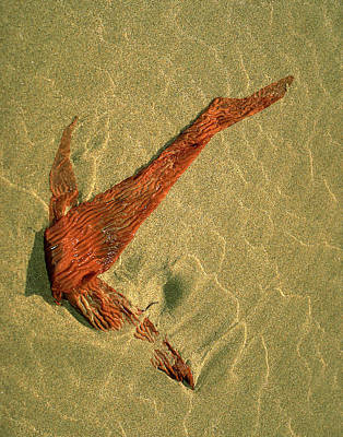 Photograph - Kelp 2 by Art Shimamura