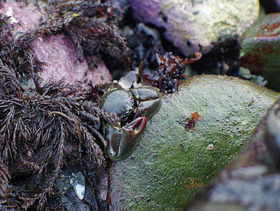 Photograph - Kelp Crab by Adria Trail