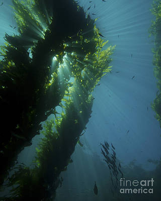 Animals Photos - Kelp Forest With School Of Fish by Brent Barnes