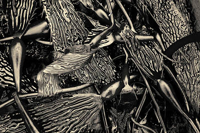 Photograph - Kelp I Toned by David Gordon