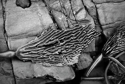 Photograph - Kelp Iv Bw by David Gordon