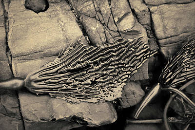 Photograph - Kelp Iv Toned by David Gordon