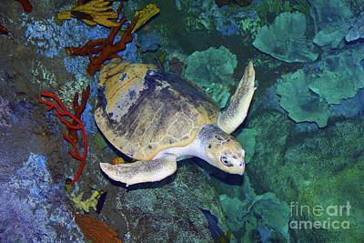 Photograph - Kemp's Ridley Sea Turtle by Savannah Gibbs