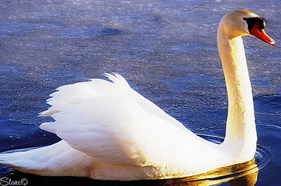 Photograph - Kensington Swan 3 by September  Stone