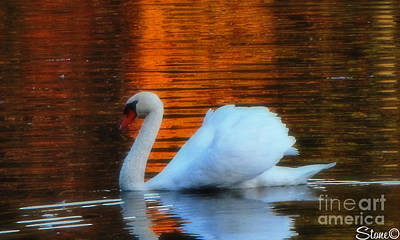Photograph - Kensingtons Swan by September  Stone