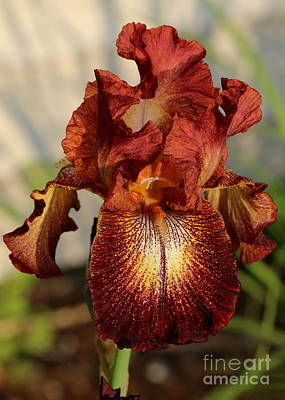 Photograph - Kent Pride Iris by Kenny Glotfelty