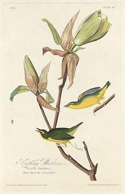 Audubon Drawing - Kentucky Warbler by Dreyer Wildlife Print Collections