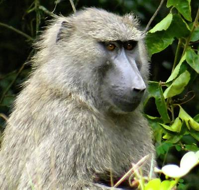 Exploramum Photograph - Uganda Wildlife Before Qenp - Baboon by Exploramum Exploramum