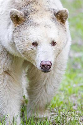 Prince Rupert Photograph - Kermode Bear Portrait by Brandon Broderick