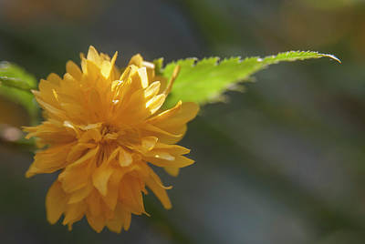 Photograph - Kerria Japonica  by Rick Mosher