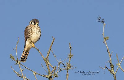 Photograph - Kestrel And Lunch by Mike Fitzgerald