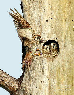 Photograph - Kestrel Babies Feeding Time by Myrna Bradshaw