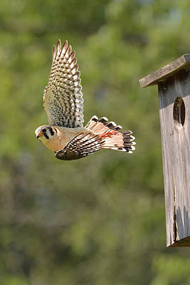 Photograph - Kestrel Backstroke by Alan Lenk