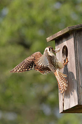 Photograph - Kestrel Bringing Mouse by Alan Lenk