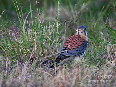 Photograph - Kestrel  by Charles McKelroy