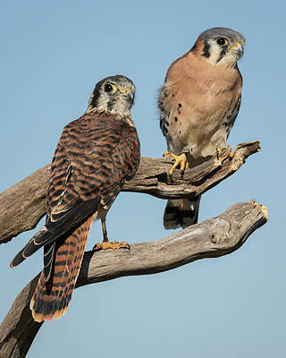 Photograph - Kestrel Couple by Dawn Currie
