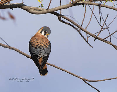 Photograph - Kestrel Cutie by Mike Fitzgerald