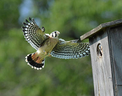 Photograph - Kestrel Fledgling Visits Nest by Alan Lenk