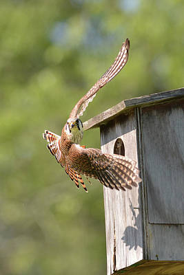 Photograph - Kestrel Flight by Alan Lenk