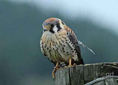 Photograph - Kestrel Hawk by Ann E Robson