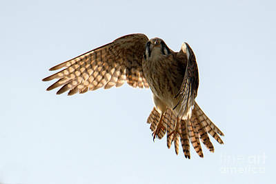 Photograph - Kestrel Hover by Mike Dawson