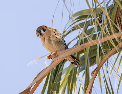 Photograph - Kestrel In A Palm by Loree Johnson