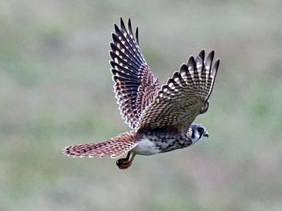 Photograph - Kestrel In Flight by Mercedes Martishius