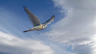 Photograph - Kestrel In Flight by Rick Mosher