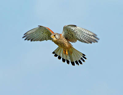 Photograph - Kestrel In The Wind . by Paul Scoullar