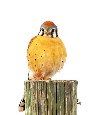 Photograph - Kestrel by Norman Hall