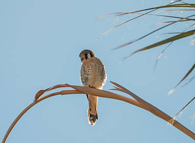Photograph - Kestrel On A Palm Frond by Loree Johnson