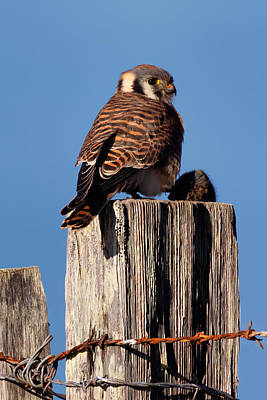 Photograph - Kestrel On A Picket With Lunch by Kathleen Bishop