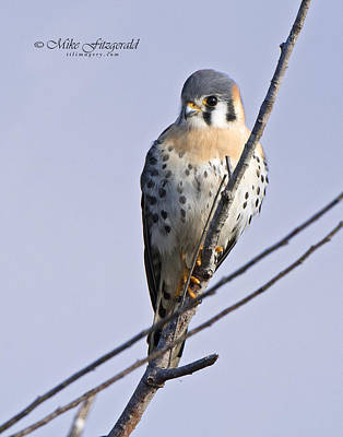 Photograph - Kestrel On A Stick by Mike Fitzgerald