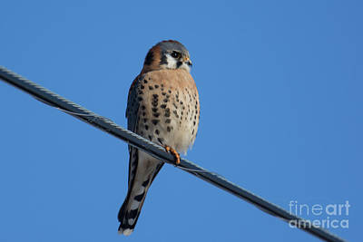 Photograph - Kestrel On A Wire by Craig Leaper