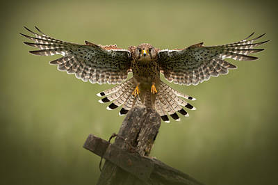 Wildlife Photograph - Kestrel On Final Approach by Andy Astbury