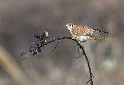 Photograph - Kestrel On The Blackberry by Loree Johnson