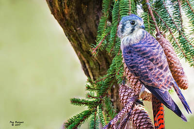 Photograph - Kestrel On The Cones by Peg Runyan