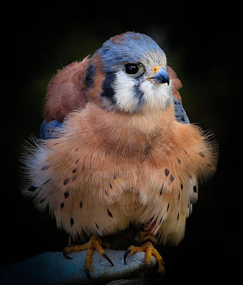 Photograph - Kestrel Perched by Athena Mckinzie
