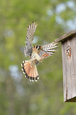 Photograph - Kestrel With Dragonfly For Chick by Alan Lenk